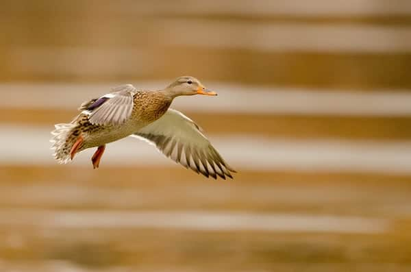 Panning picture of a mallard hunting duck.