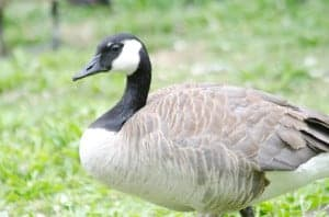 Picture of a Canada Goose taken with a Tamron telephoto zoom lens.