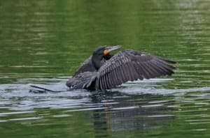 Anhinga bird taking off from a pond.
