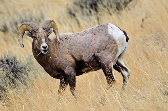 Ram in Yellowstone