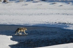 Lamar Canyon Wolf Pack in Yellowstone