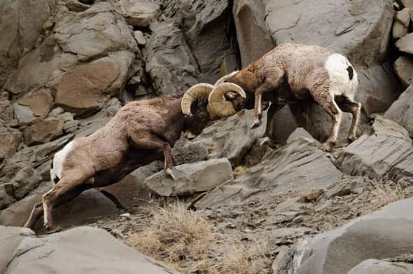 Rams fighting by butting heads