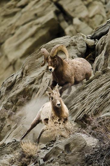 Bighorn Sheep Ram Chases a Ewe for Breeding