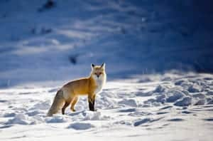winter red fox in Yellowstone