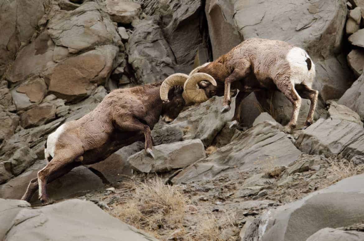 Bighorn sheep rams fighting in Yellowstone
