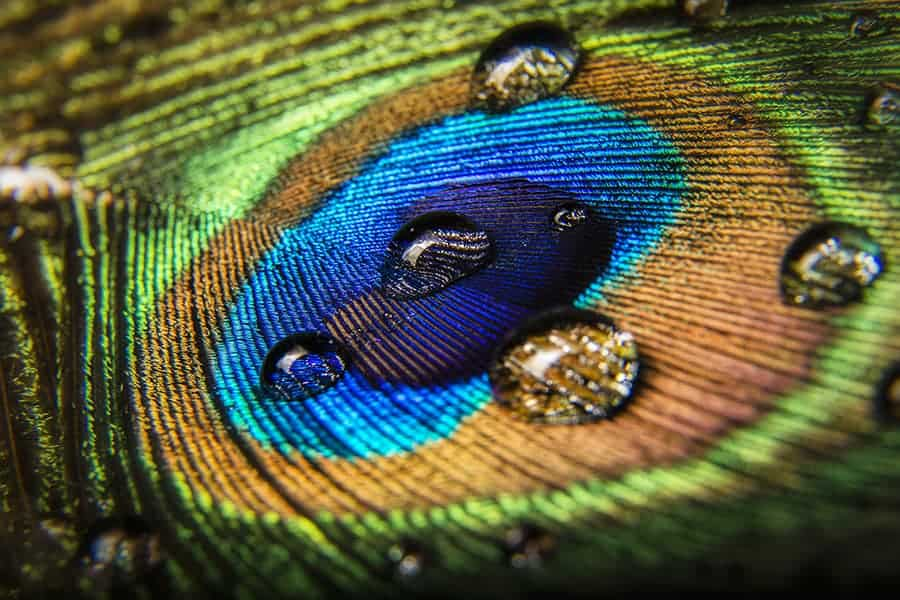 Water Dropped Peacock Feather - By Dustin Olsen