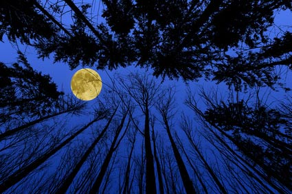 Moon on a blue sky surrounded by pine trees.