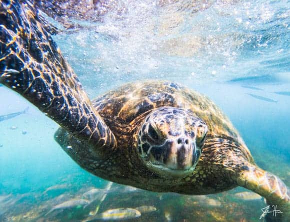 Turtle on Oahu
