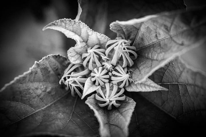 Black and White Buds by Rusty Parkhurst