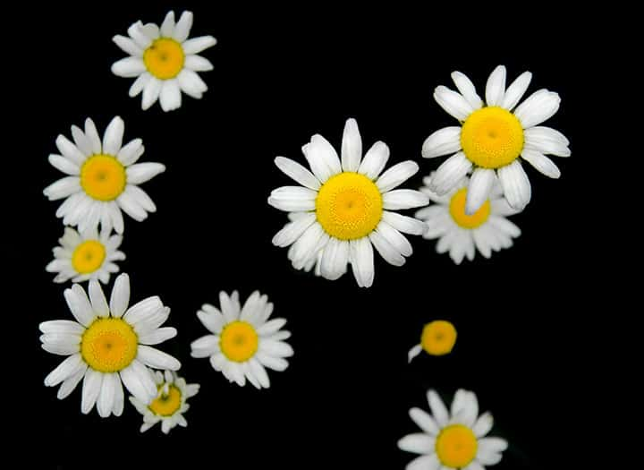 Daisies by Rusty Parkhurst