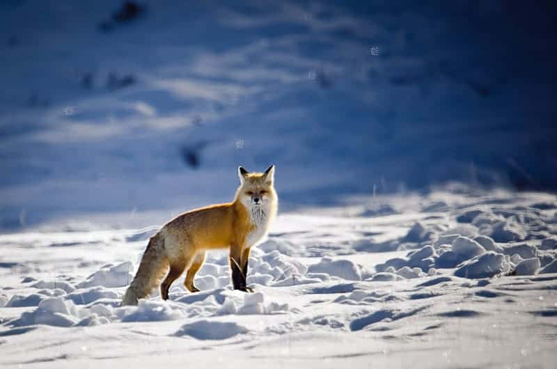Photographer S Guide To Yellowstone In Winter Improve