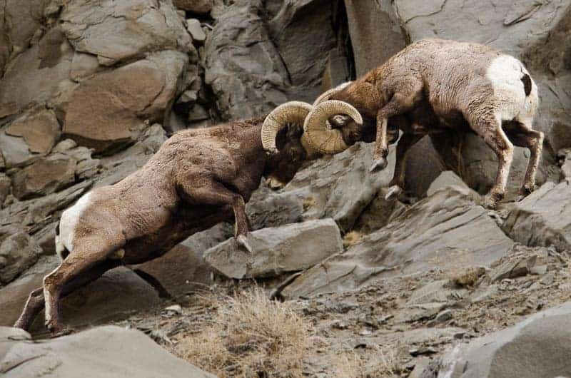 Bighorn sheep fighting with an atomic head butt - Photo by the author: Jim Harmer