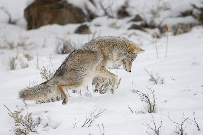 Coyote jumping yellowstone snow winter