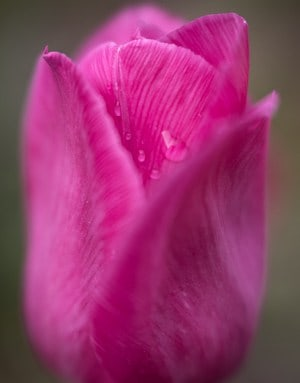 Pink Tulip after Spring Showers. Photo by Tracy Munson