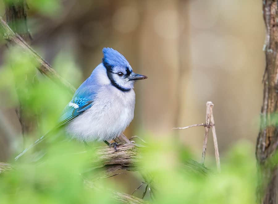 Hardly an exotic visitor to Southern Ontario, but this Blue Jay was posing so prettily, how could I resist? Taken in Point Pelee National Park.