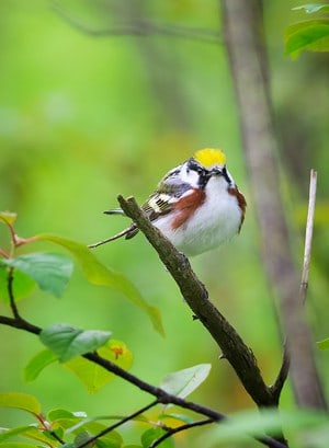 A Chestnut Sided Warbler seems curious about all the cameras pointed at him in Point Pelee National Park, Ontario.