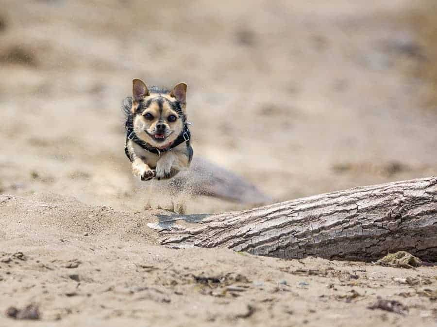 A photo of a chihuahua running on the beach, kicking up sand, caught in mid air.