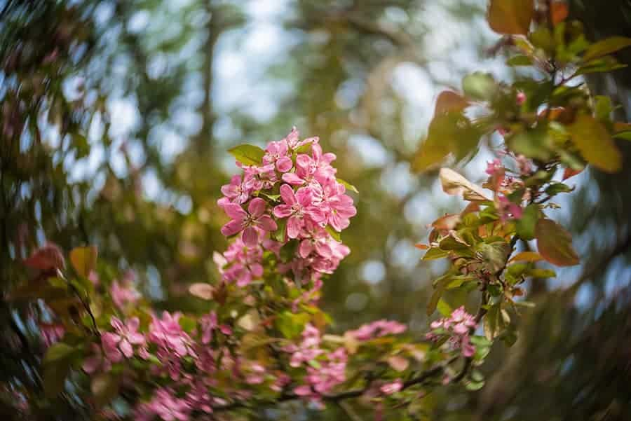 A cluster of crabapple blossoms in High Park, Toronto. Photo taken with the Lensbaby Twist 60 lens, which gives a pleasing spin effect to the background bokeh.