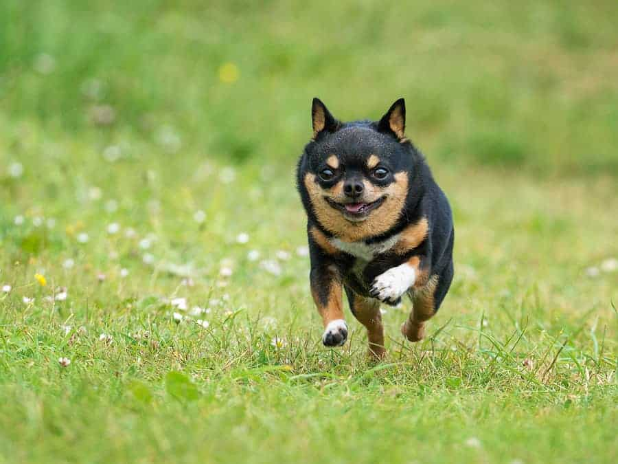 A photo of a chubby chihuahua running towards the camera.