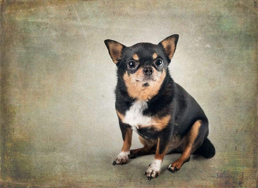 A portrait of a portly chihuahua on a textured background.
