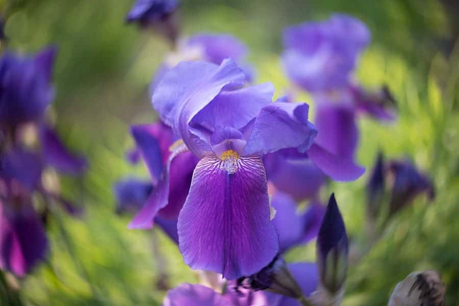 A purple iris in springtime, taken with the Lensbaby Twist 60 lens.