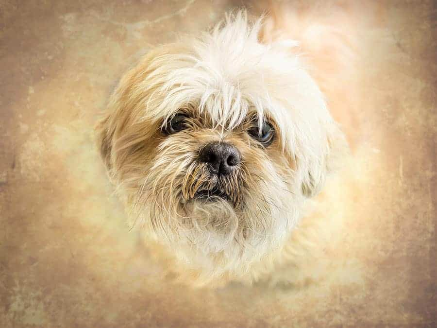 A Shih Tzu with soulful eyes, looking up into the camera.