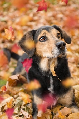 A beagle mix surrounded by autumn leaves.