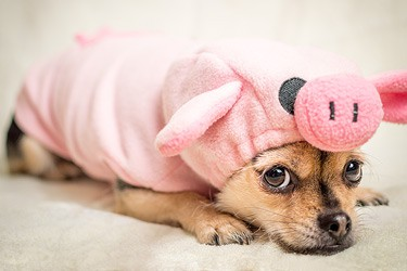 A portrait of a pug in a pig suit.