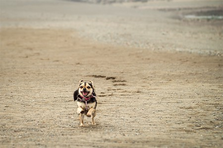A photo of a small dog, running on the ocean floor at low tide in the Bay of Fundy, New Brunswick.