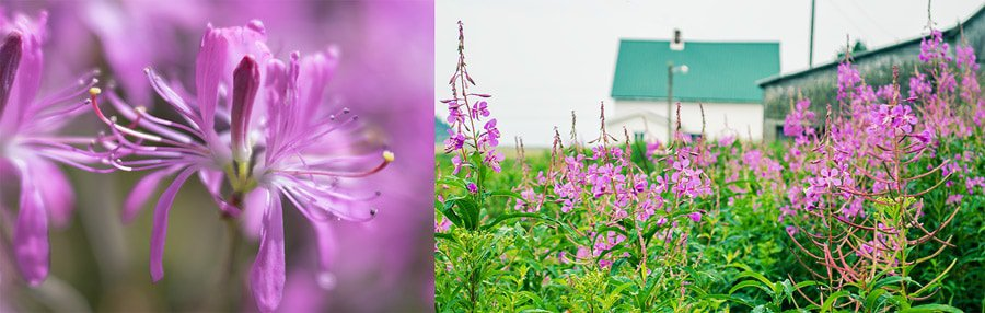 A photo of fireweed at the roadside in the Bay of Fundy area, New Brunswick.