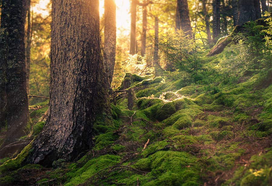 A photo of sunlight, streaming through the forest in Fundy National Park, New Brunswick.