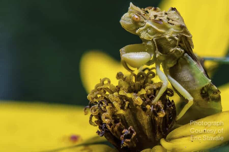 This is an ambush bug. You can get a sense for the size by looking at the flower it's on. This is a focus stack of ~4 images. This subject is completely motionless, so I was able to play with a few different settings to get my final photo.