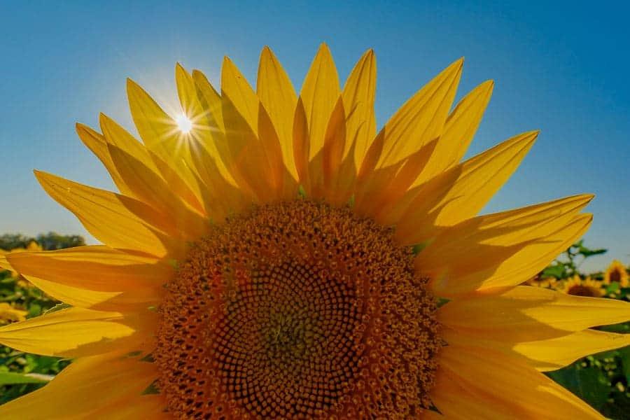 Sunflower with sunburst.  Photo by Rusty Parkhurst.