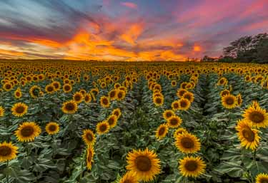 Grinter's Sunflower Farm: Timing is Everything for Amazing ...