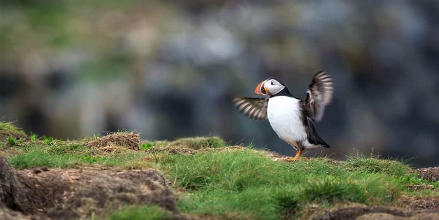 A photo of an Atlantic Puffin near Elliston, NL. Photo by Tracy Munson.