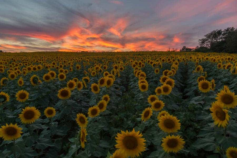 grinter-sunflower-farm_20150905_0410-hdr