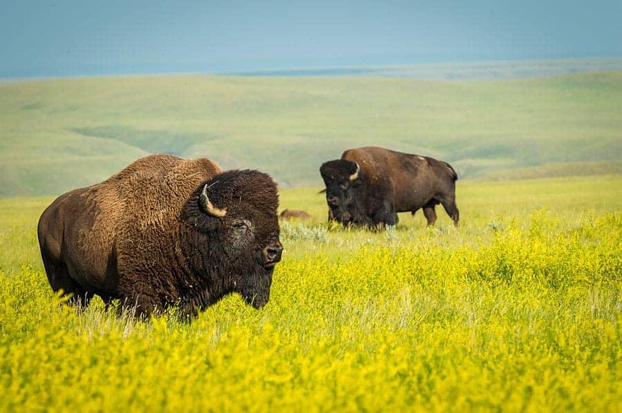 Free roaming bison in a field of canola, Grasslands National Park, Saskatchewan.