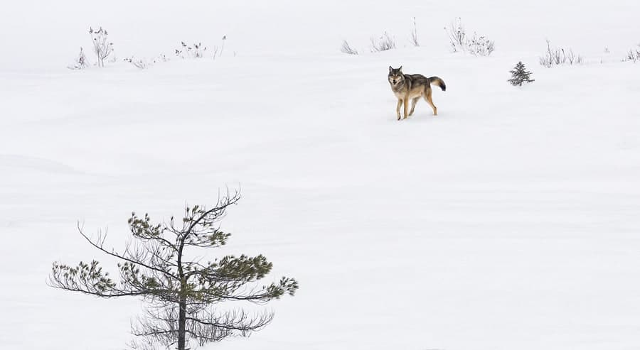 A photo of an Algonquin Wolf in winter.