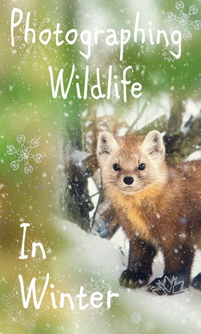 A photo of an American Pine Marten in Algonquin Provincial Park in winter.