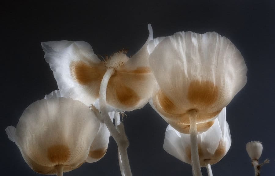 An ethereal infrared photo of poppies.