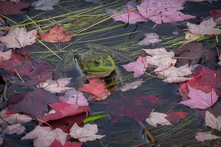 A frog in fall leaves