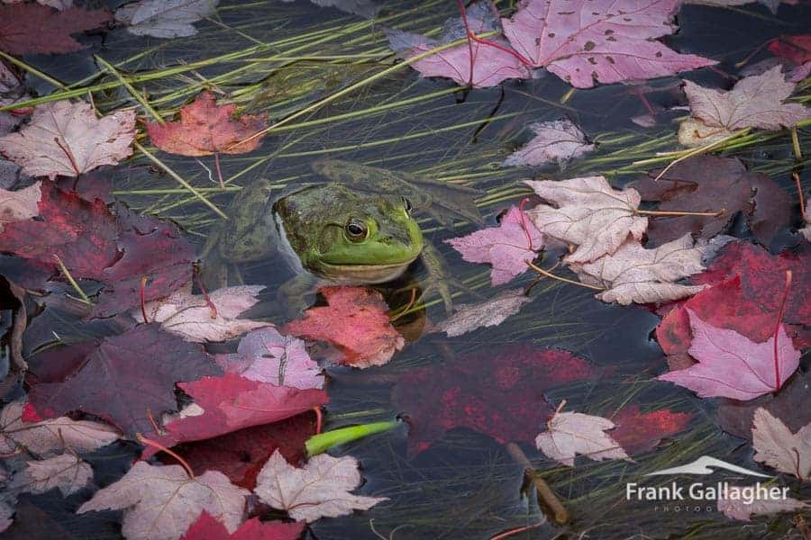 Frog in fall foliage