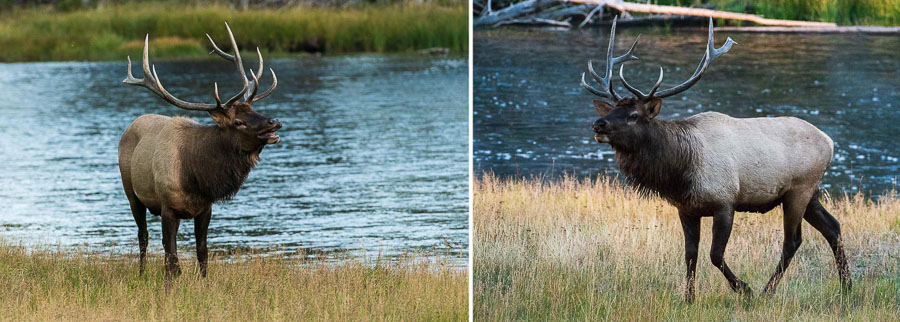 Two views of elk with different backgrounds.