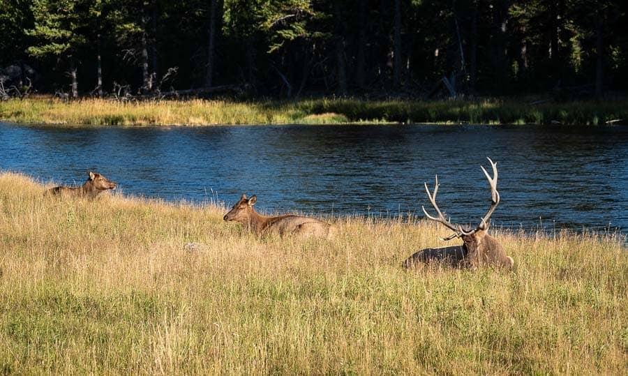 Elk at rest = boring photo.