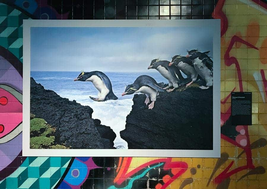Thomas Peschak's photo of rock hopper penguins is a terrific composition.